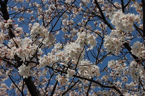 2010年の桜-は