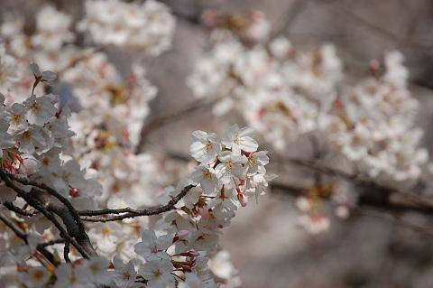 2010年の桜-に