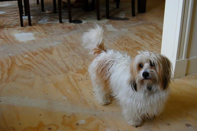 フランス語を解す犬
