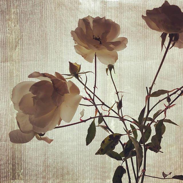 親切な方が「バラは1月中に剪定して休ませなきゃ」と教えてくださったので(すでに遅れてるけど)実行。咲いてたのは花瓶に。#ウチの庭 #バラ #アイスバーグ