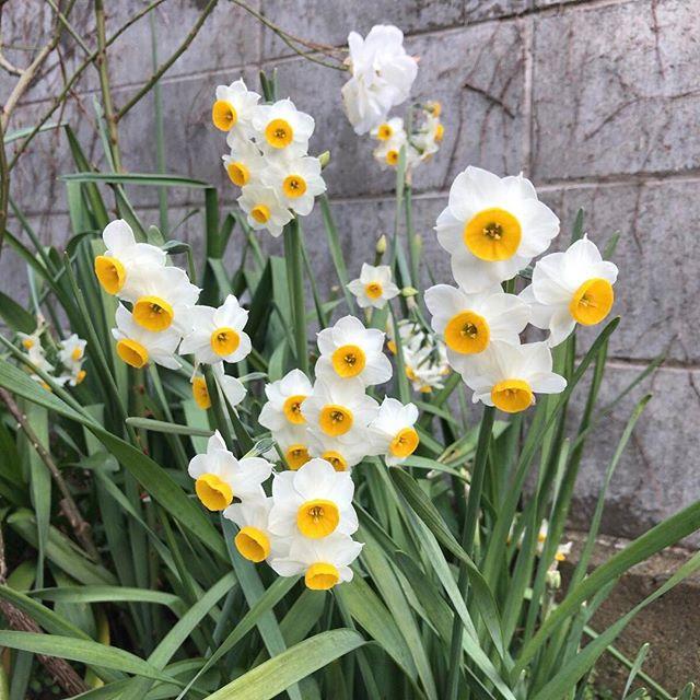 ちょっとうつむき気味に。清楚。#ウチの庭 #水仙 #スイセン
