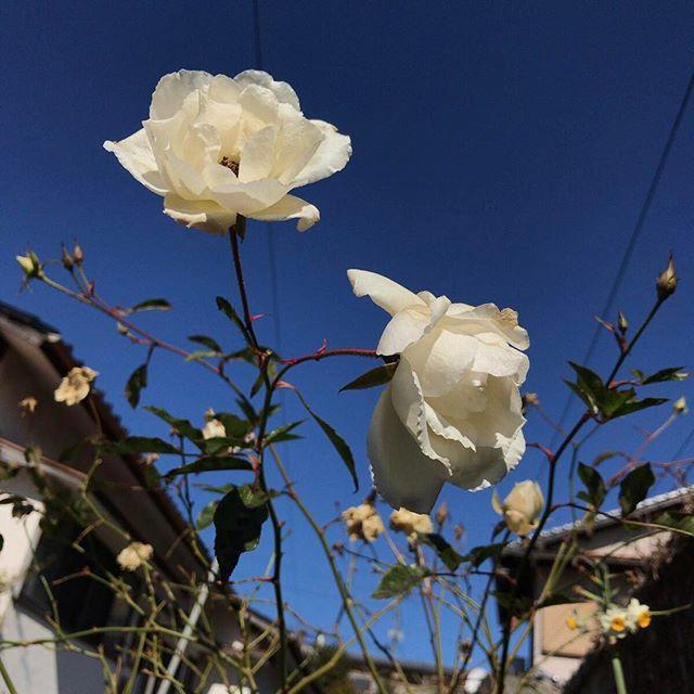 寒いのに頑張ってます。いつ冬の剪定をしたらいいのか、困ってます。 #ウチの庭 #バラ #アイスバーグ