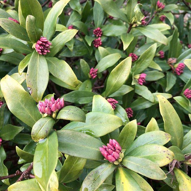 ただいま匂いの準備中。#ウチの庭 #沈丁花 #ジンチョウゲ