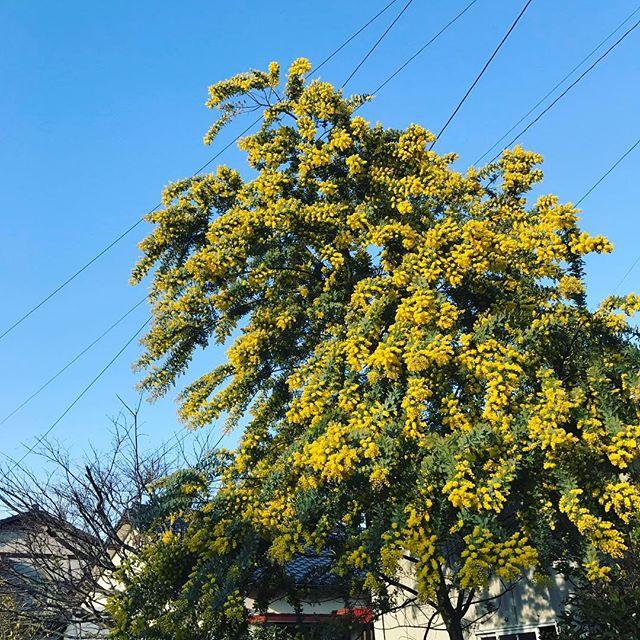 いよいよ春ですなあ。お向かいのおばちゃんにも木の名前を尋ねられるくらい近所でも目立ってす。#ミモザ #ウチの庭