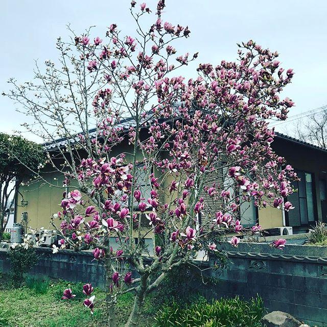 この雨で散ってしまうかなあ。#ウチの庭 #モクレン #木蓮