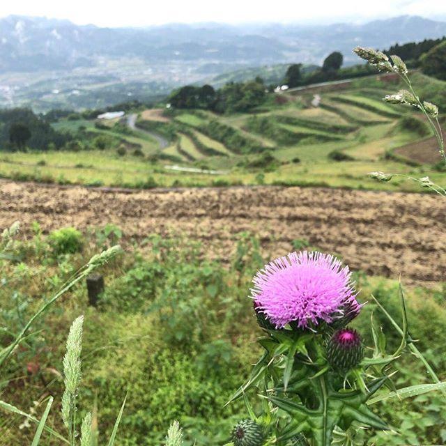 アザミも景色を楽しんでます。#アザミ #薊