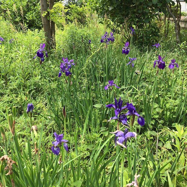 雑草エリアにてんてんと。これも自然に増えちゃいました。#アヤメ #ウチの庭