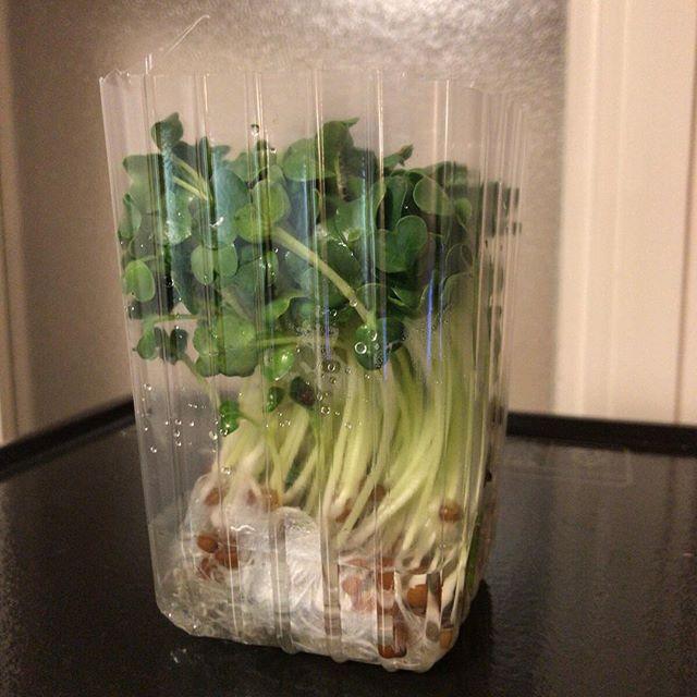 買ったものの、いつものより小さい?短い?気がしたので育ててから食べることにしてみる。ということで水を入れて室温で放置。さて、大きくなるのでしょうか。 #カイワレ