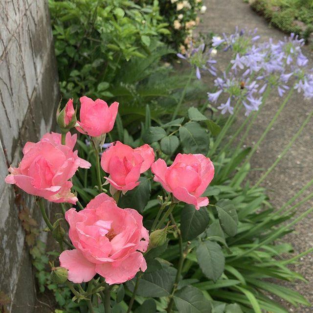 集合写真。奥のアガパンサスも五分咲きくらいかな。#バラ #rose #アガパンサス #agapanthus #ウチの庭