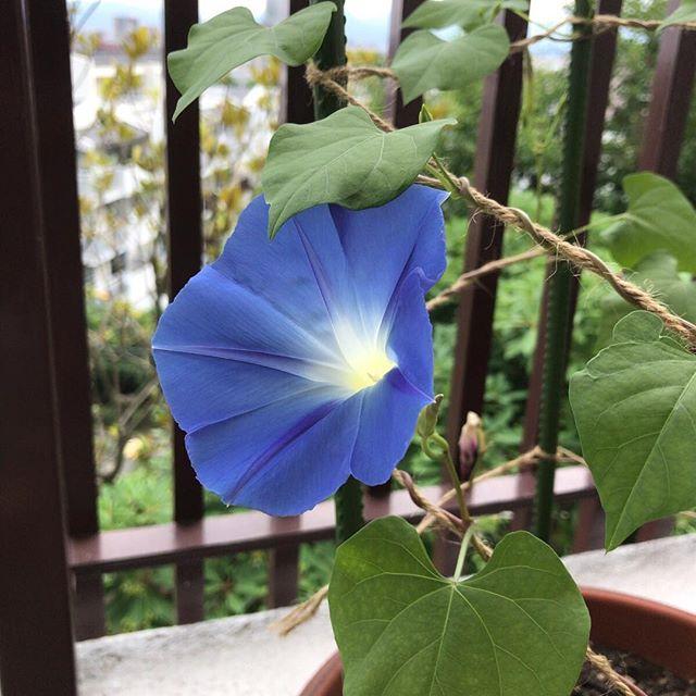 #アーリーヘブンリーブルー という種類の#朝顔 咲いた!#ウチのベランダ