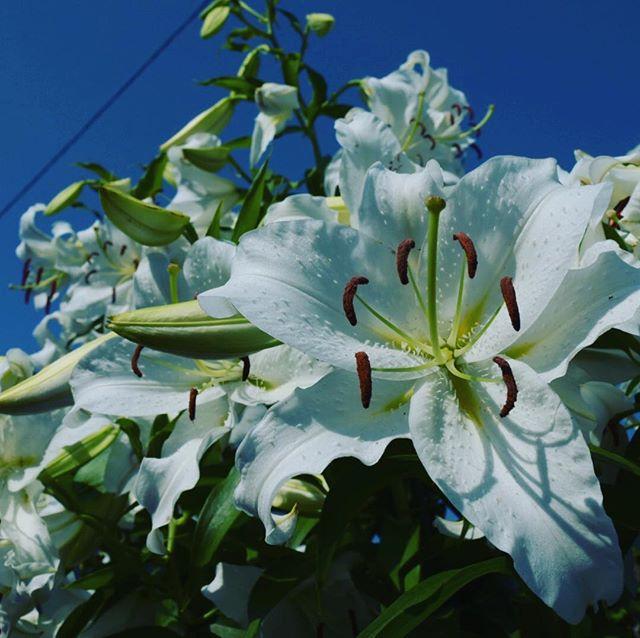 自慢したいのでしつこく載せますw うちの百合、豪華。#ウチの庭 #カサブランカ