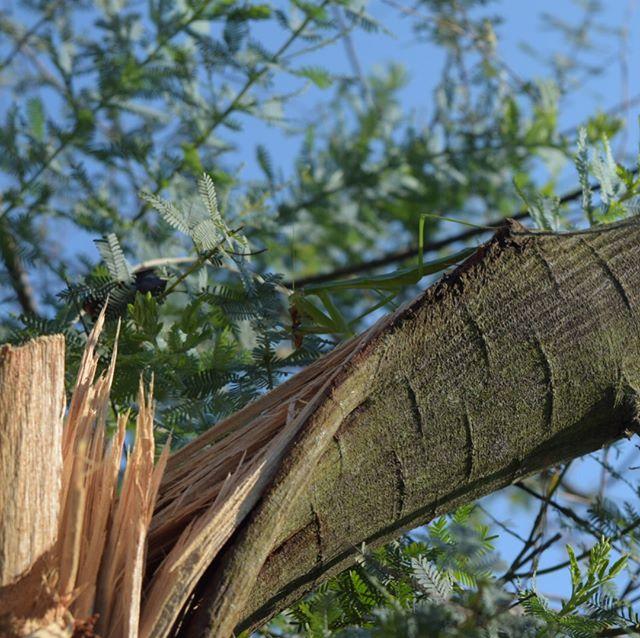 先日の台風で折れちゃったミモザ、こんな感じです。折れちゃったけどご覧のように元気な芽もあるのでまた大きくなってくれることだろう。#ウチの庭 #ミモザ