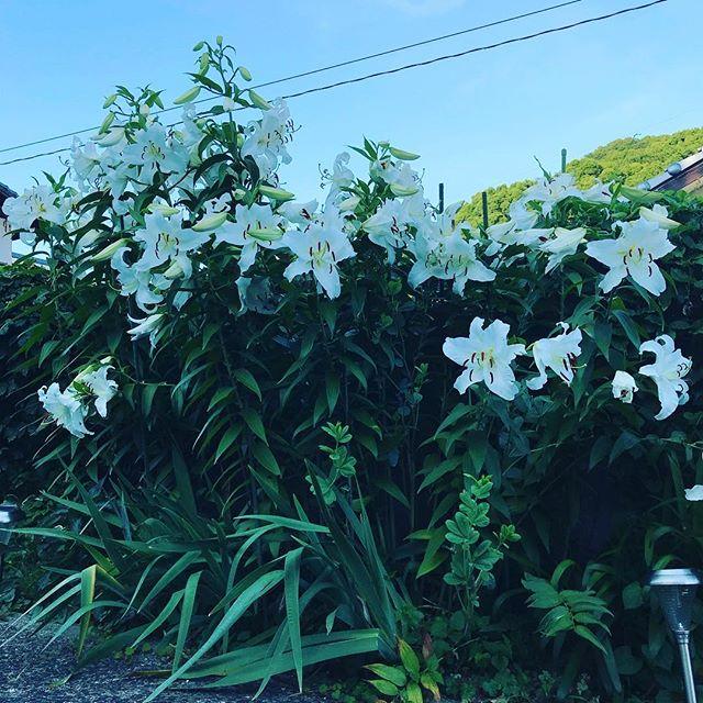 ジャジャーンと今年も時期になりました。やはり夕方になると香りが強くなります。初めは球根3つだったのだけど毎年増えてこんな豪華に。#カサブランカ #ウチの庭