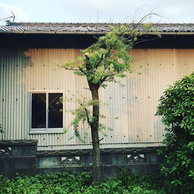 このヒトも台風に負けない。#ウチの庭 #ミモザ