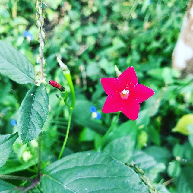 #ウチの庭 に自然に咲いてた #ルコウソウ 。写真では潰れちゃってるけど花の部分はマットな赤。深い色です。漢字で書くと #縷紅草 。「縷」とは糸や細いものの意味。ツルや葉が細いからかな。