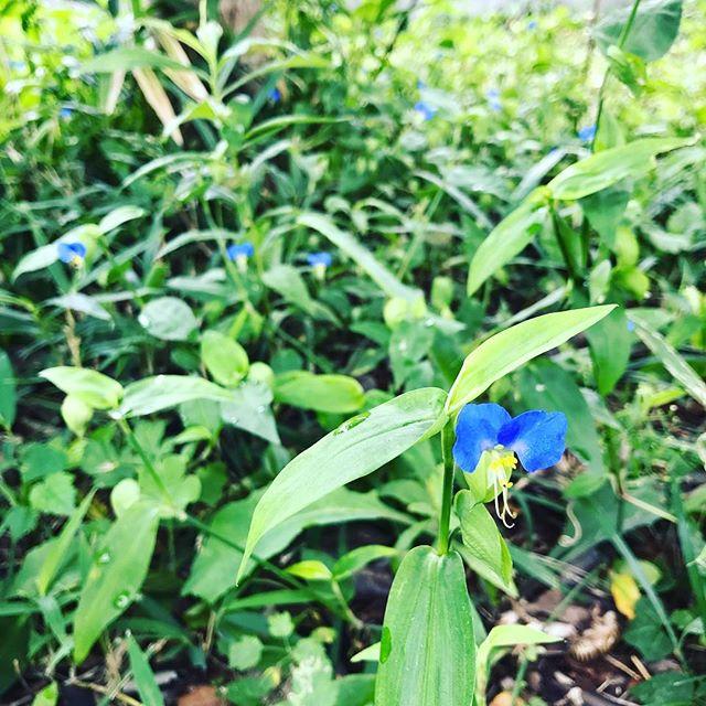 もっと咲いてるかな、奥の方に分け入ると割とたくさん咲いてた。こんなのが午後にはしぼんでしまうのは、はかないねえ。#ウチの庭 #ツユクサ