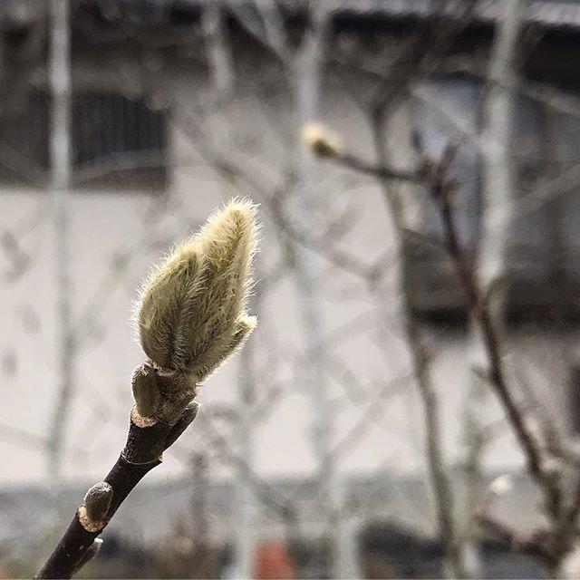 春に向けてモフモフ準備中 #ウチの庭 #コブシ
