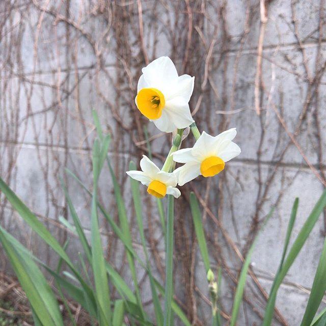 かがんでくんくんしましたよ、もちろん。#ウチの庭 #水仙 #スイセン #narcissus