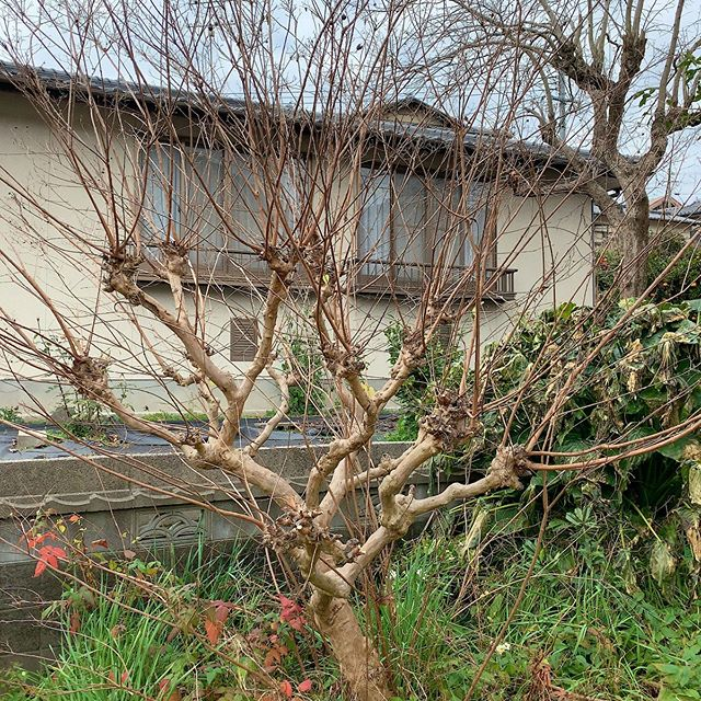 Before and after. #ウチの庭 #サルスベリ #crapemyrtle myrtle