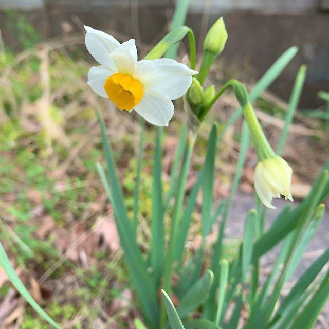 わざわざかがんでクンクンします。Have to bend down to sniff spring. #スイセン #水仙 #narcissus #ウチの庭