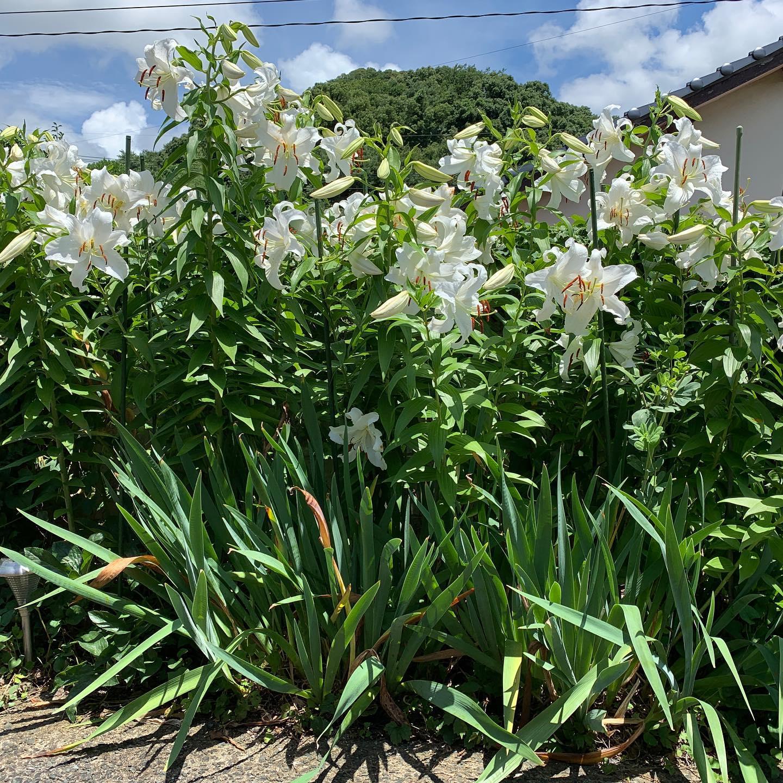 #カサブランカ 今年も満開!ずいぶん昔に3つの球根を植えたのがこんなに増えました。 #ウチの庭