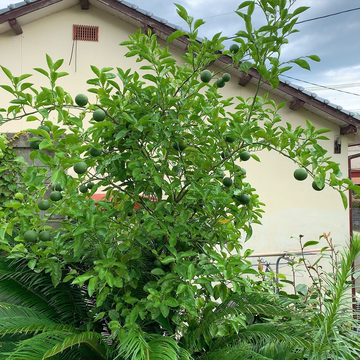 このまま実が色づいたらクリスマスツリーのようになるのでは?#カボス #ウチの庭