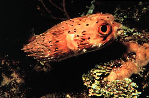 igelfisch0002